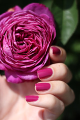 Heidi Klum Rose (yellogerbera) Tags: pink summer flower rose heidi big purple klum nails essie spender