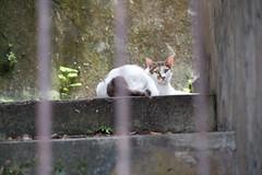 Tamsui Old Street (New Taipei City) Cat (Kelvin Wen) Tags: cat nikon bokeh taiwan    tamsui    d610
