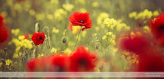 Poppies Blowing in the Wind IV (go18lf2004) Tags: flowers plants poppies wild reds yellows fields light colour beautfy sussex depthoffield motionblur photography canon creative mood atmosphere serene calming growth nature contrasts meadows pastures countryside