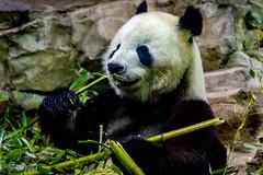 papa bear (obypix) Tags: nature animals zoo flikr 2016