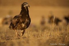 Juvenile Egyptian Vulture (Nicholas Ferrary) Tags: nature spain nikon wildlife vultures vulture buitre egyptianvulture alimoche d810 valledealcudia nikond810 nikon200400mmvr alimoches spanishwildlife nicholasferrary d800e nikond800e