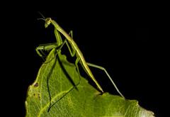 DSC03929 (advertisingwv) Tags: west macro bug mantis insect virginia sony praying josh southern wv alpha a77 mantid shackleford beckley advertisingwv
