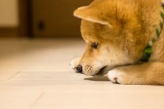 Yotsuba365 Day16 (Tetsuo41) Tags: dog shibainu yotsuba