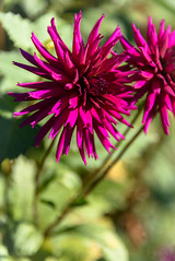 Rich Magenta (Jocey K) Tags: dahlia autumn newzealand christchurch may monavale