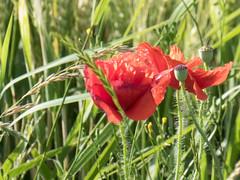 Coquelicots (bpmm) Tags: lambersart nord champ coquelicot crales fleursdeschamps