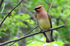 Cedar Waxwing (Lois McNaught) Tags: summer ontario canada bird nature outdoor wildlife hamilton elegant cedarwaxwing avian