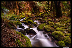 Follow the stream through the forest (Dan Wiklund) Tags: longexposure nature water forest moss rocks stream australia tasmania ferns d800 2016
