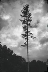 Einsam (shortscale) Tags: fichte baum nadelbaum
