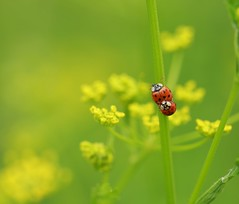45-rpm (Christa Farrar) Tags: red summer yellow lady insects ladybird ladybug parsnip
