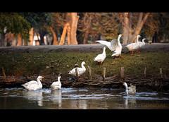 Back to Home !! (GoCiP) Tags: duck changamanga park recreation travel photography photojournalism evening summer sunset green bokeh bokehlicious outskirts lahore pakistan gocip gocinematic gondal zeeshangondal