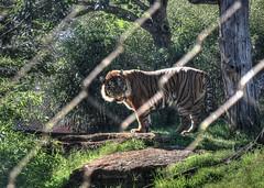 Sumatran Tiger - A Safe Distance (zendt66) Tags: sumatra zoo photo nikon tiger assignment bigcat theme sumatrantiger okc weekly hdr sumatran photomatix zendt d7200 zendt66 52weeks2016