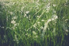 morning dew (KieraJo) Tags: morning plants sunlight 3 beautiful grass glitter canon 50mm droplets drops bokeh mark iii 14 drop dew 5d fullframe dslr shimmer canonef50mmf14usm 5d3