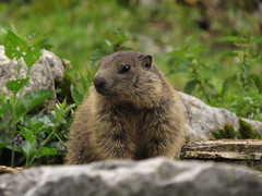 Mum is a little worried (aniko e) Tags: mammals europe germany mountains alps murmeltier marmot sciuridae xerinae squirrels alpinemarmot mormota hiking outdoors wild family maroldschneid bavaria bayern ruins burrows marmotamarmota