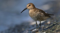 Dunlin (Matt Scott Wildlife Photography) Tags: dunlin