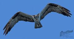 Osprey 8_28 heads up (krisinct- Thanks for 12 Million views!) Tags: nikon d500 500 f4 vrg