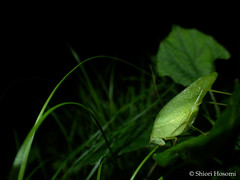 Holochlora japonica (Shiori Hosomi) Tags: 2016 september japan tokyo 23  insects entomon             orthoptera tettigoniidae holochlora   noctivagant noctuary nocturnal night