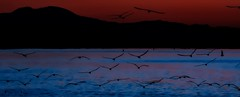 Dawn Birds (beachpeepsrus) Tags: dawn water westcoast birds beach blackskimmers blue sky shore