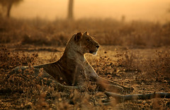 A young lioness between me and the setting Serengeti sun (theindiannaturalist) Tags: africageographic africa africanwildlife africageo safari eastafrica serengeti tanzania lions bigfive big5 bigcats lioness panthera feline endangered beauty wildlife wildlifephotography wildafrica bestofafrica sunset backlight