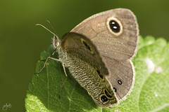 IMG_8536-2 (Jamil-Akhtar) Tags: canon6d tamron 200400 canon500d closeuplens nature macro insect butterfly islamabad pakistan commonfourring ypthimahuebneri