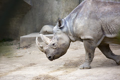 Black Rhino (30tproductions) Tags: columbuszoo columbus zoo zoophotography zoophotos zooanimals animal animals animalphotos animalpictures wild wildlife wildlifeimages wildanimals rhino blackrhino