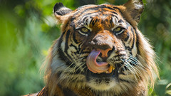 Tiger, Tiger (Oddernod) Tags: daytime tamron teeth sandiegosafaripark tiger bigcat eyes sumatrantiger canon70d outdoor zoo tamron70300 sandiego animal