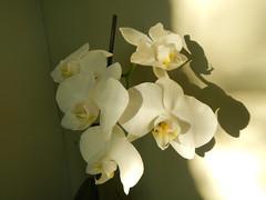 DSCN0548 (Riek2008) Tags: orchids