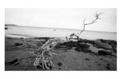 length (bc50099) Tags: leicam4 wate wideangletrielmar 16mm rangefinder water hawaii kentmere400 diafine33 black white selfprocessed westernshore trees ocean