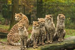 Leopard family (Harm Roelofzen) Tags: zoo arnhem leopard cheetah tiergarten burgerszoo dierentuin luipaard jachtluipaard