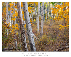 Within the Grove (G Dan Mitchell) Tags: california autumn trees light usa color fall nature leaves america print landscape grove nevada north stock sierra license trunks aspen eastern dense filtered