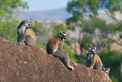Ring-tailed Lemur: Lemur cattaDSC_7836 (paulhypnos) Tags: island evolution lemur endangered madagascar primate prosimian