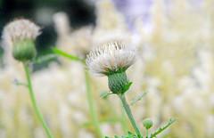 Sirobana-no-azami: Japanese thistle (white flower) (qooh88) Tags: white thistle cirsium        carduoideae japanesethistle cirsiumjaponicumfalbiflorum  cirsiumjaponicum