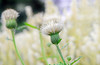 シロバナノアザミ Sirobana-no-azami: Japanese thistle (white flower) (qooh88) Tags: white thistle cirsium 白 アザミ 白花 薊 アスチルベ ノアザミ 野薊 carduoideae japanesethistle cirsium・japonicumfalbiflorum シロバナノアザミ cirsium・japonicum キルシウム・ジャポニクム