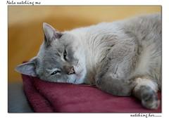 nala-watch (hodad66) Tags: cat feline nala leicaelmaritr90mmf28 sonya7ii