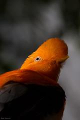 Cock-of-the-rock (Mark Dumont) Tags: bird birds animals zoo mark cincinnati dumont cockoftherock explored