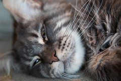 Sleepy whiskers (SzabolcsNagy) Tags: pets species bommel maincoon carnivora felidae animalsanimalia mammalsmammalia domesticcatfelissilvestriscatus