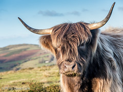 The Pose (Philip D Gale) Tags: camera animals countryside cattle highland devon dartmoor moorland lumixg6