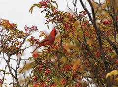 Cardinal eating berries (johnny4eyes1) Tags: autumn fall nature birds cardinal foliage birdwatching nybotanicalgarden
