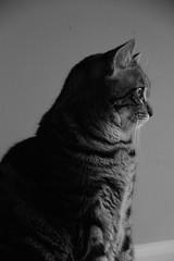 Contemplative (veal.emily) Tags: blackandwhite bw cats monochrome beautiful closeup grey artistic kitties catportrait beautifulcats catfaces portair catsnamedmax