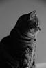 Contemplative (veal.emily) Tags: blackandwhite bw cats monochrome beautiful closeup grey artistic kitties catportrait beautifulcats catfaces portair catsnamedmax