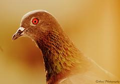 Indian Pigeon (Anuj Clicks) Tags: