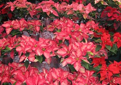 """Christmas Poinsettias"" (ellenc995) Tags: christmas poinsettia red flowers rubyphotographer thesunshinegroup coth supershot sunrays5 coth5 fantasticnature alittlebeauty challengeclub citrit concordians ruby10 abigfave top25redorangeandyellow bej naturesfinest naturallywonderful akob challengeclubchampion thegalaxy 100commentgroup"