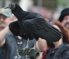 Igor the Black Vulture (Bill Jacomet) Tags: sky galveston strand texas tx kings dickens on the 2014