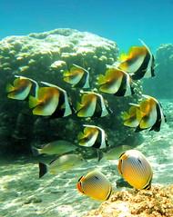 Lagon d'Etang Sal (jeanmarie.gradot) Tags: underwater indianocean papillon larunion fulvus lagon trifasciatus reunionisland monoceros lutjanus chaetodon heniochus lutjan tangsale