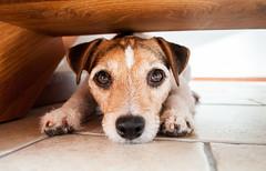 Pouty (Jasmine Hanna) Tags: italy dog puppy jack nikon jrt russell bright fuzzy terrier jackrussell doggy pup jackrussellterrier puppydog d5000