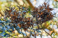 Santa Cruz Monarchs- Day 10 (3dphoto.net) Tags: california santacruz butterflies monarch eucalyptus picture365