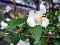 Kamelie im Botanischen Garten in Kln (mama knipst!) Tags: flower fleur natur camellia blume botanicalgarden kamelie botanischergarten