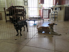 January 13, 2015 (2) (gaymay) Tags: california gay love dogs happy desert palmsprings kitty coachellavalley triad ozmo greyhuahua