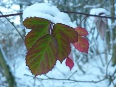 Winterliche Brombeerbltter (Jrg Paul Kaspari) Tags: schnee winter leaves leaf eifel daun 2014 brombeere rotgrn vulkaneifel schneewanderung daunermaare brombeerbltter maarseetour