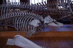 Orque (maza34) Tags: paris paleontology nol killerwhale galery 2014 anatomical squelette orque squeleton squelettes nol2014 galeriesdanatomiecompareetdepalontologie galeriesdanatomiecompareetdepalontologie galeriesdanatomiecompareetdepalontologie nol2014