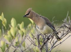 Cedar Waxwing (Hockey.Lover) Tags: birds cedarwaxwing alamedacounty 2015 myfrontyard
